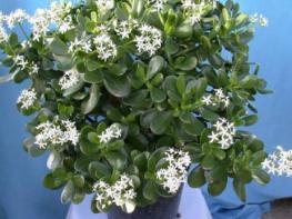 Թանձրատերևուկ կամ «փողի ծաղիկ»… բուժո՞ւմ է, թե՞ թունավորում. ինչի՞ է ընդունակ այս սենյակային բույսը. դուք պետք է անպայման սա իմանաք
