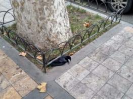 Ագռավների մասսայական անկում Երևանում, ո՞րն է պատճառը, թռչնի գրի՞պ