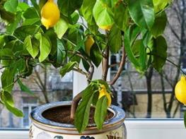 Ահա թե ինչ է անհրաժեշտ անել տանը կիտրոնի ծառ աճեցնելու համար